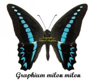 graphium-milon-milon