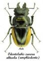 odontolabis-cuvera-alticola