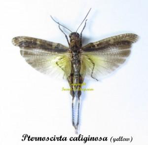 bug-pternoscirta-caliginosa-yellow