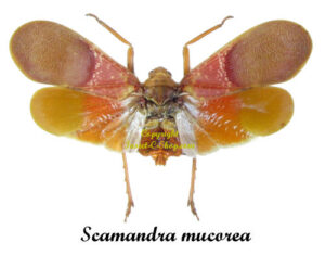bug-scamandra-mucorea