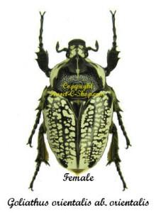 goliathus-orientalis-black-female