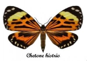 chetone-histrio