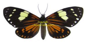 chetone-sp-angulosa