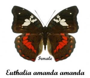 euthalia-amanda-amanda-female-1