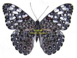 hamadryas-februa
