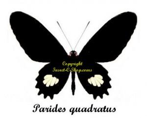 parides-quadratus