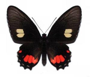 parides-sesostris-female