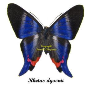 rhetus-dysonii