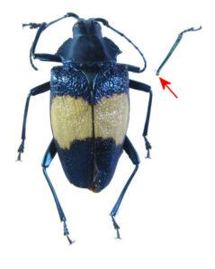 bug-charmallaspis-pulcherrima-8262
