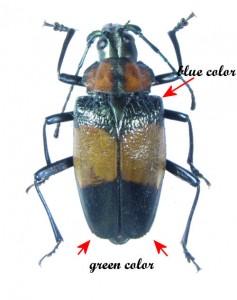 bug-charmallaspis-pulcherrimabicolor-8266