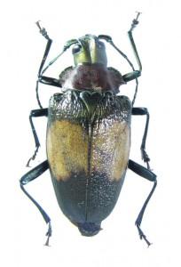 bug-charmallaspis-pulcherrimagold-8269