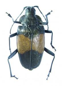 bug-charmallaspis-pulcherrimagold-8271