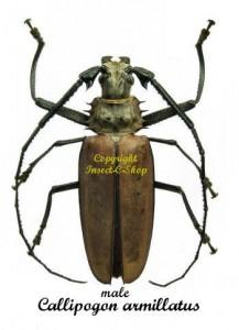 c-armillatus
