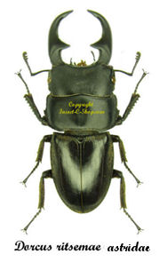 dorcus-ritsemae-astridae-male