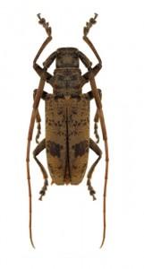 monochamus-scabiosus