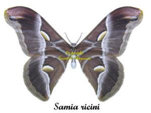 samia-ricini