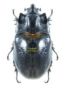 trichogomphus-vicinus-2