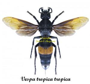 vespa-tropica-tropica